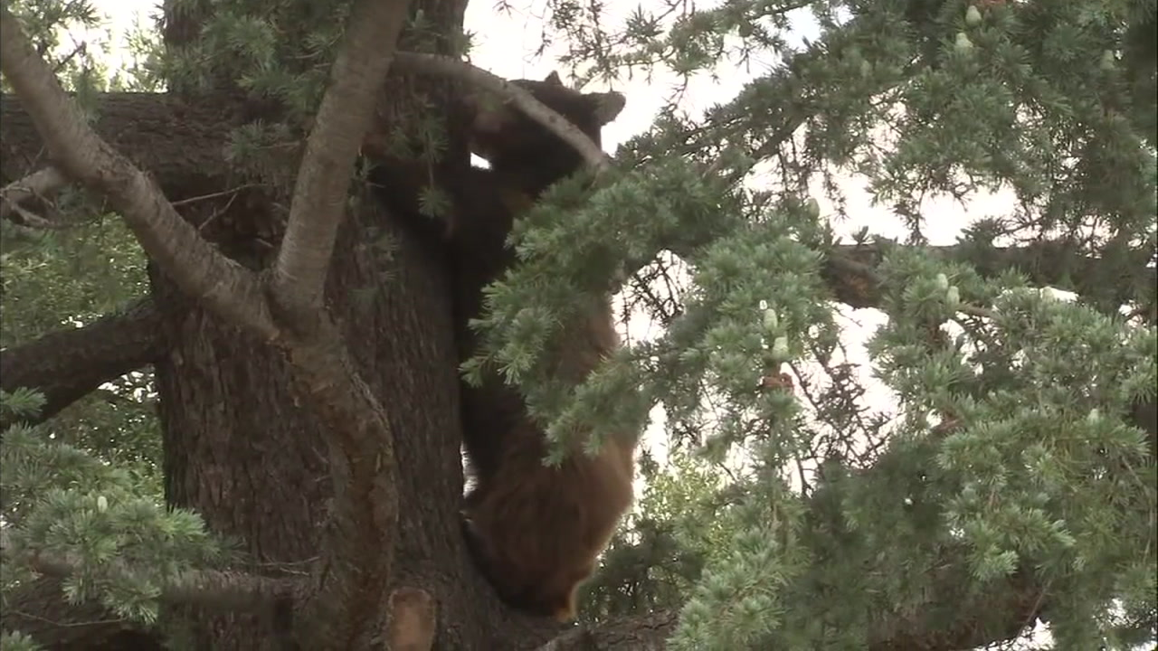 A bear in a tree is shown in a file photo.