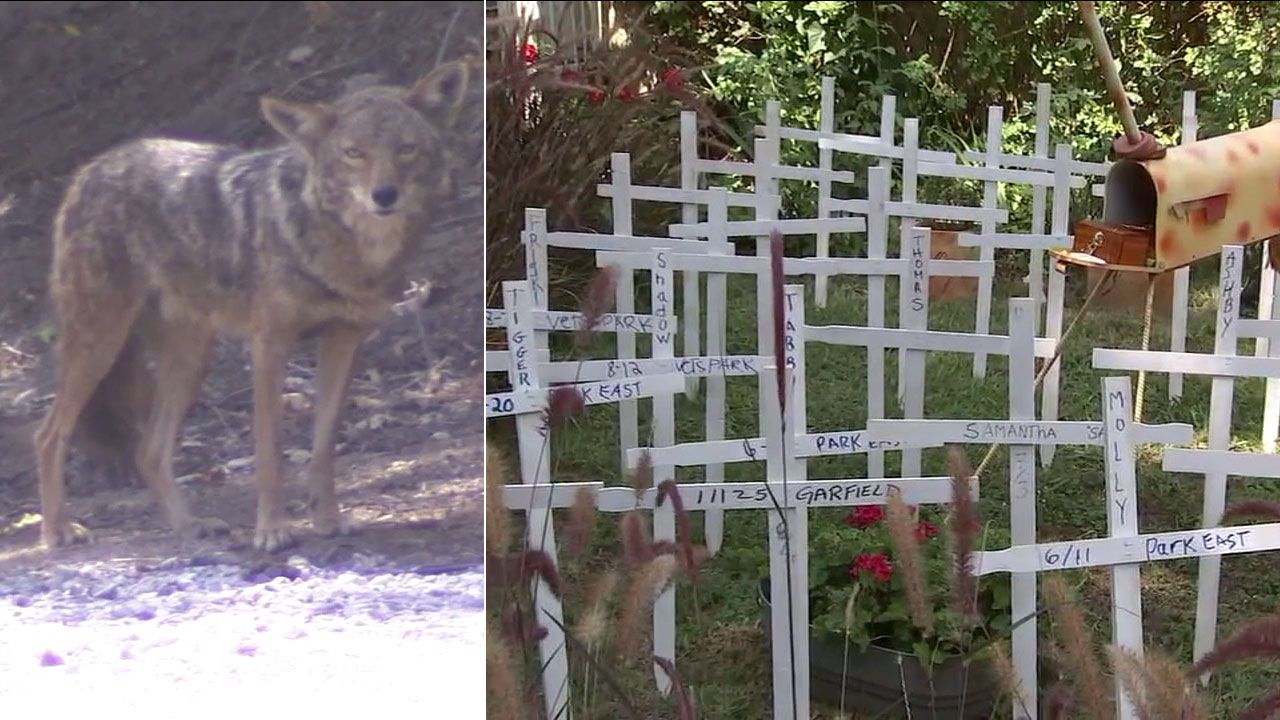 A memorial in a Culver City neighborhood calls attention to the dozens of cats killed by coyotes.