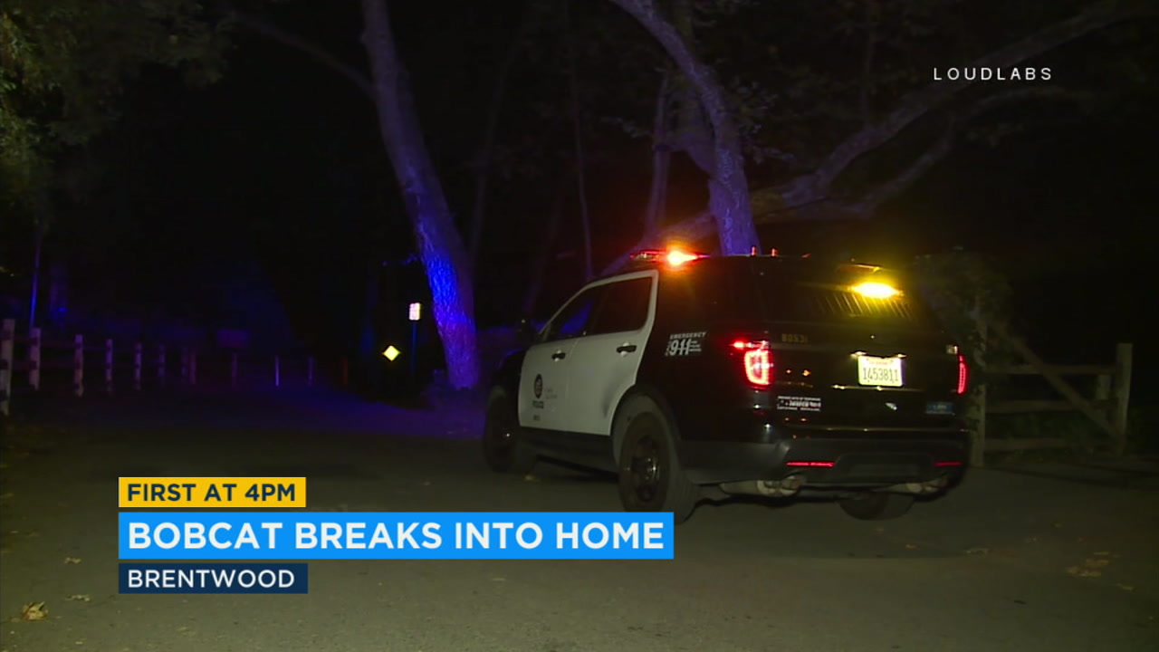 Police responded to a home in Brentwood after the homeowners reported a big cat crashing through their window.