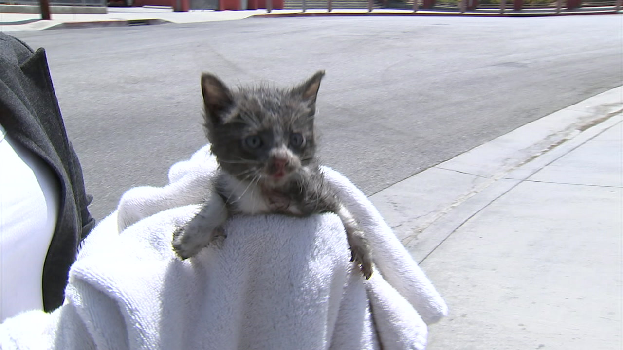 A small, gray kitten meows after being rescued from deep inside a wheel well in East Los Angeles.