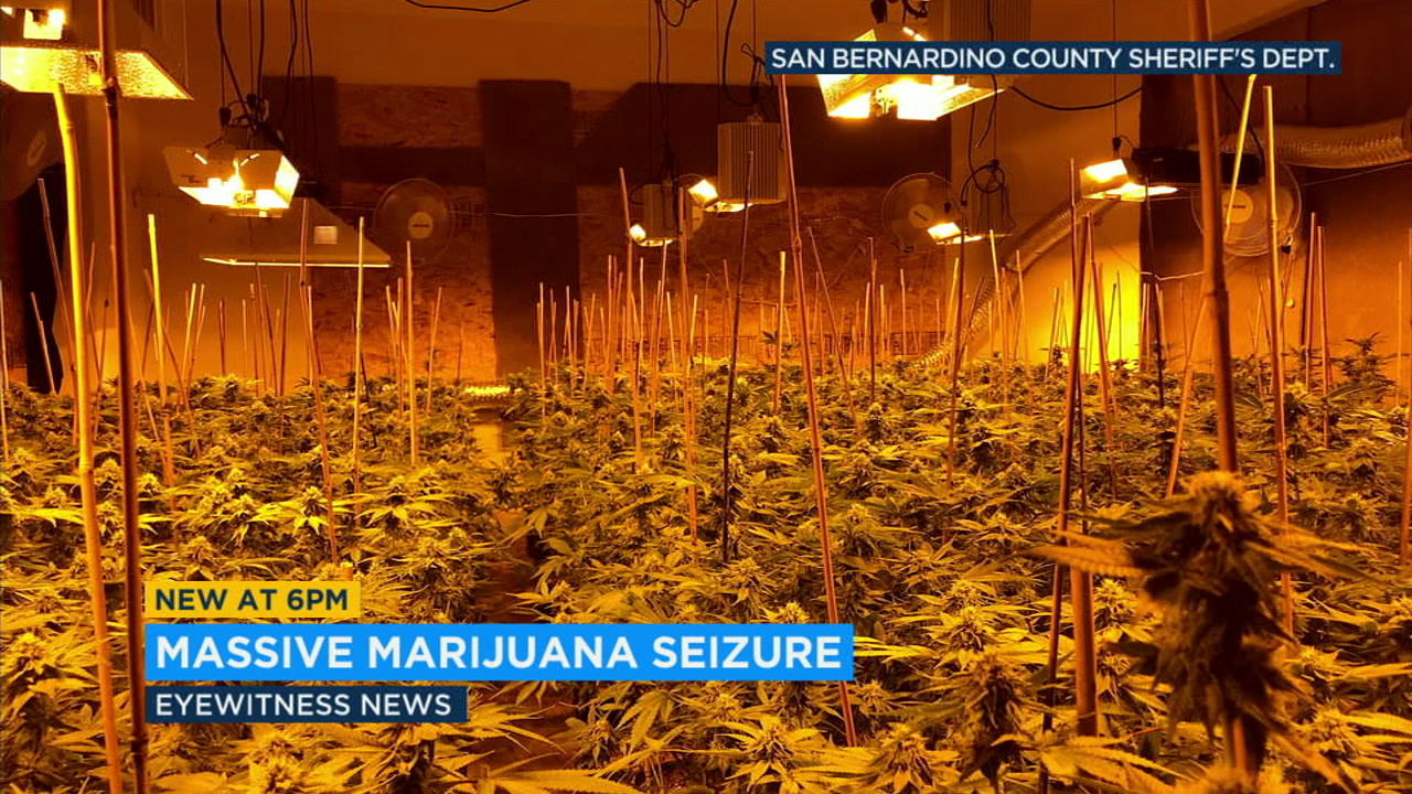 Investigators seized more than 4,500 marijuana plants and arrested a New York man in raids on four homes in Rancho Cucamonga.