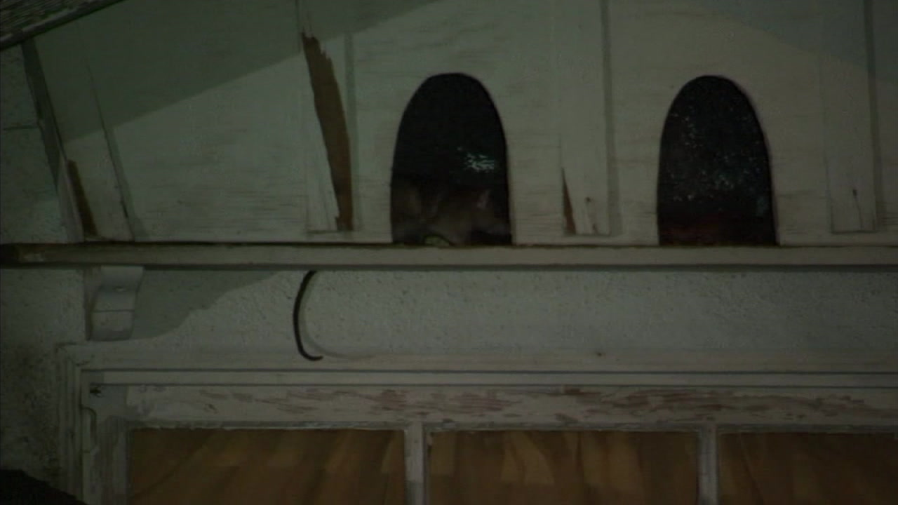 A rat is shown hiding in a part of the roof of a Van Nuys home.