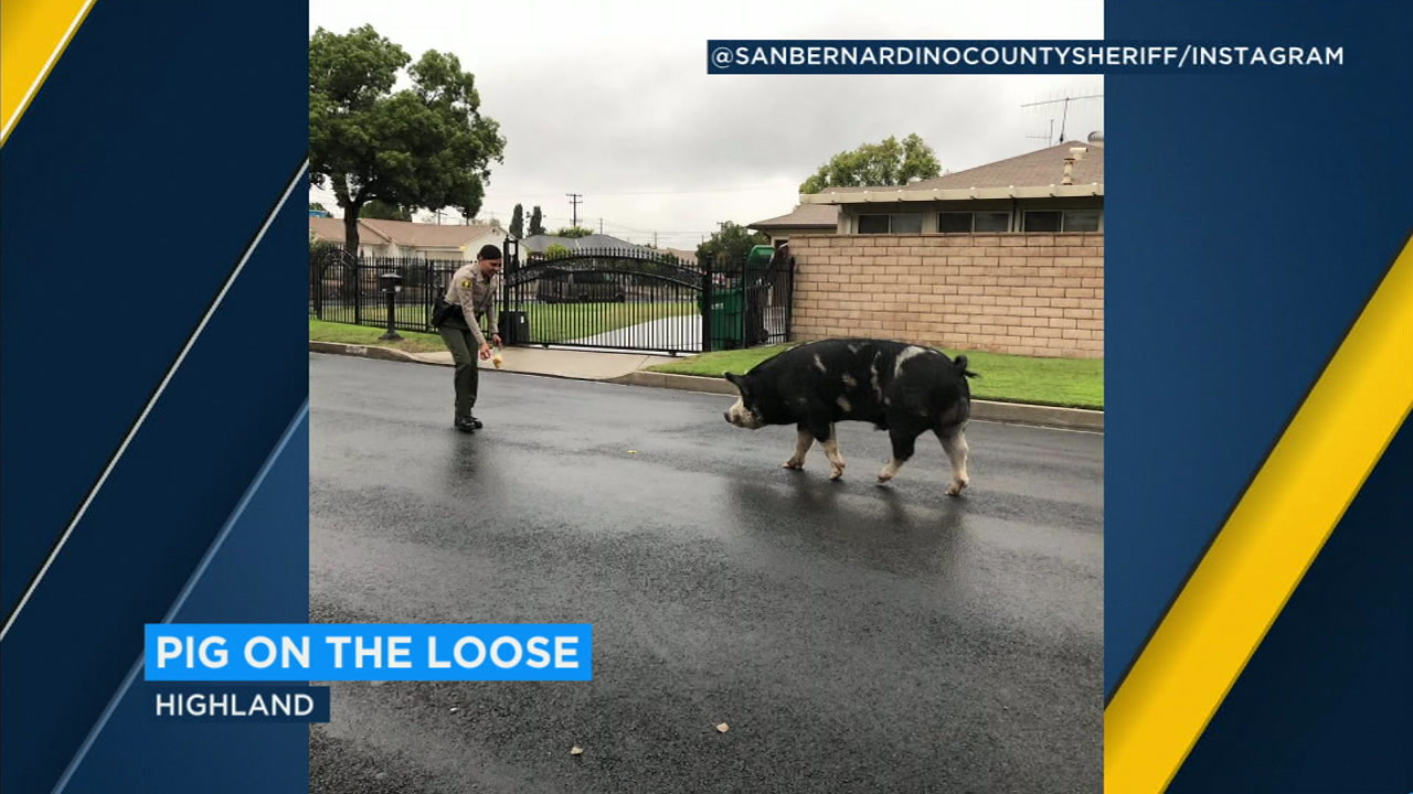 A giant pig the size of a mini-horse escaped and was lured back to his Inland Empire home with help from a deputys Doritos.