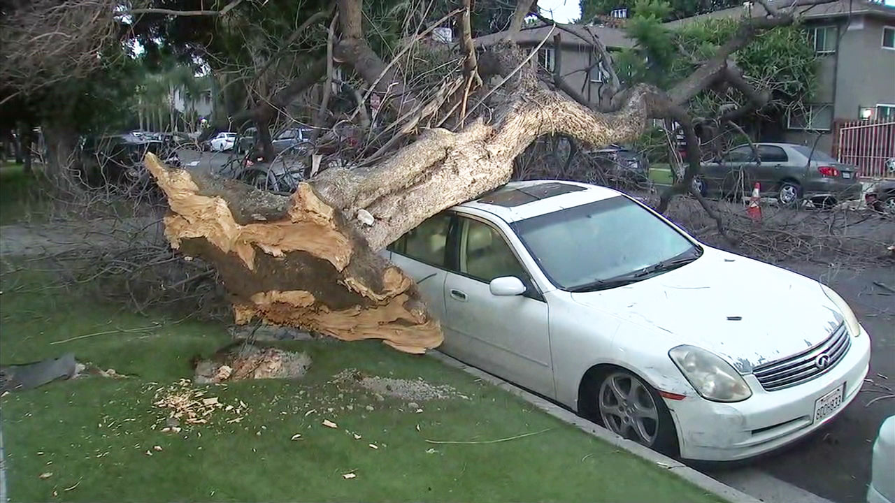 A tree sits on top of two vehicles along a street in Hollywood after strong rains caused the tree that already had short roots to fall over.