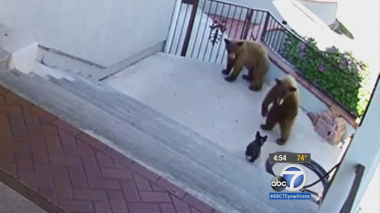 A 20-pound French bulldog went after two bears trying to break into its owners home in Monrovia.