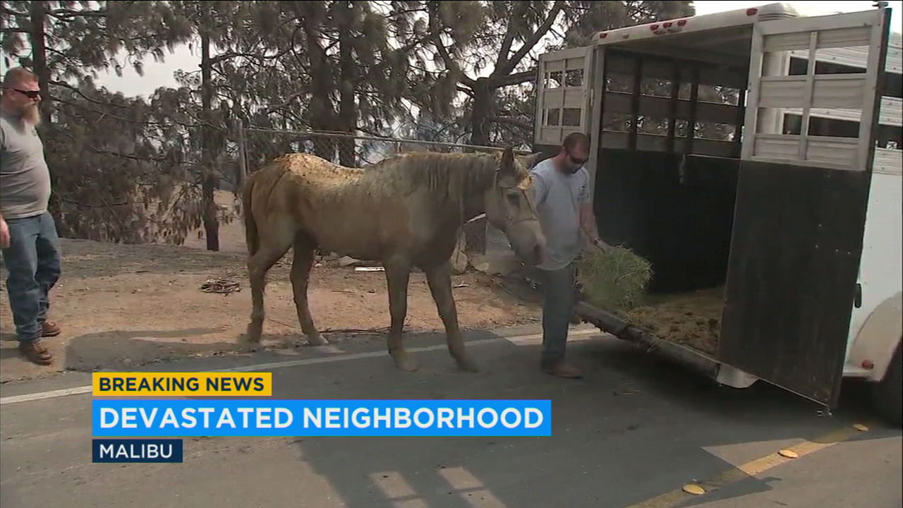 A horse rescued from a burned out pen is shown getting placed into a carrier in Malibu.