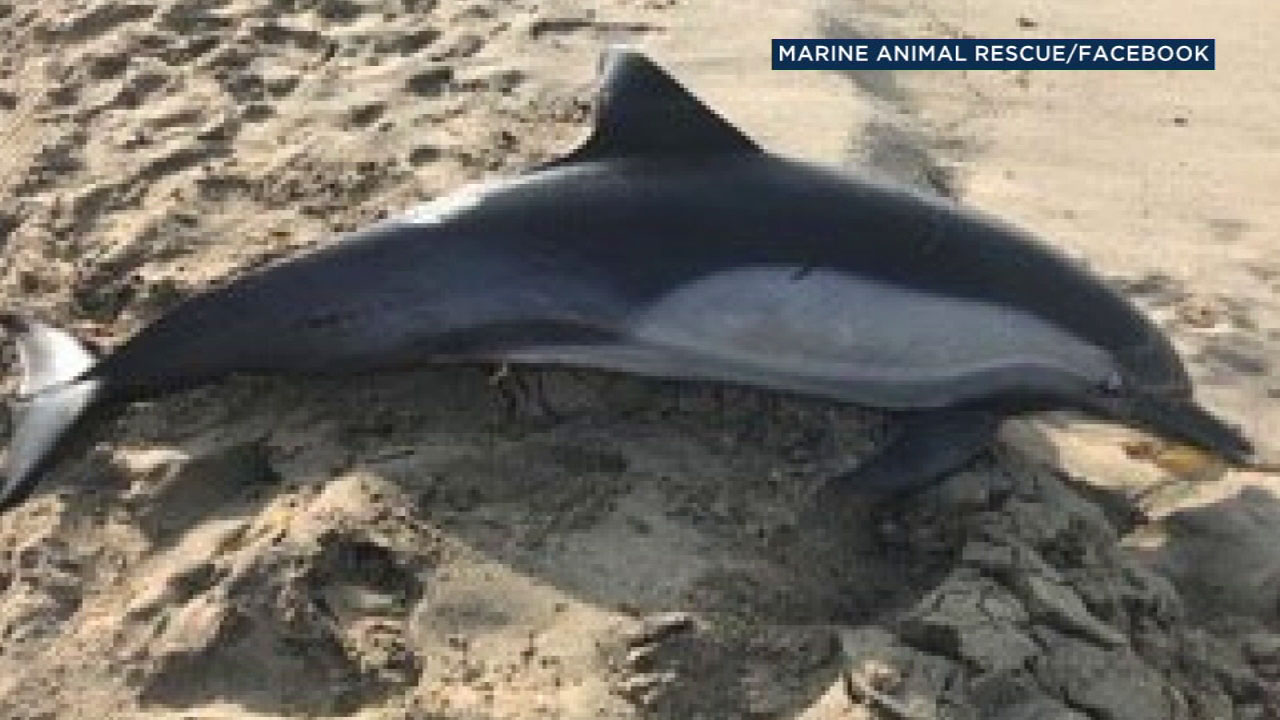 A dolphin was found shot to death on Manhattan Beach.