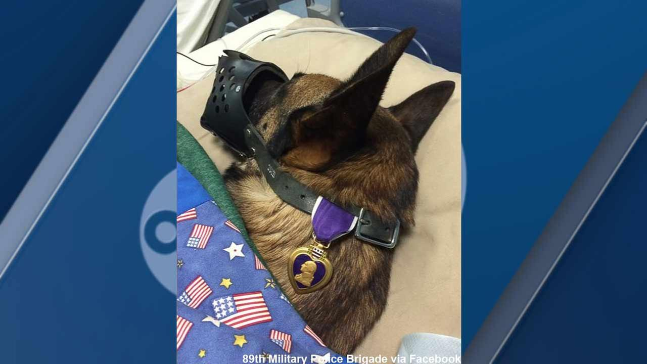 Injured military dog named Rocky is seen wearing his Purple Heart award in this photo posted to Facebook.