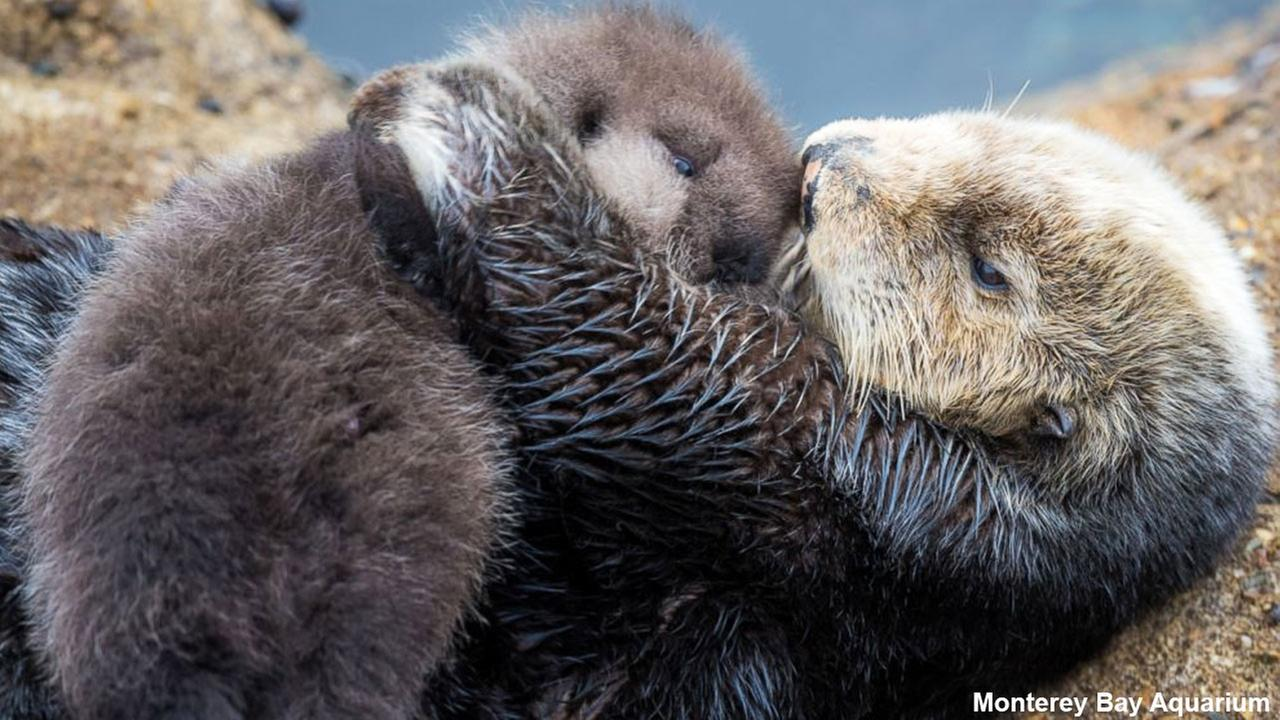 A wild sea otter unexpectedly gave birth to an adorable pup at the Monterey Bay Aquarium in Monterey, California, Dec. 20, 2015.