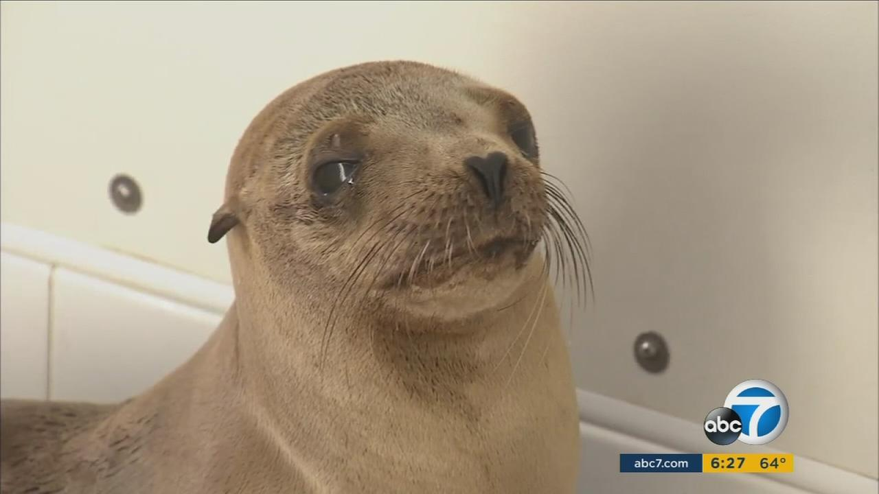 Officials at the Pacific Marine Mammal Center in Laguna Beach, California expect animal rescues to be at a record high in 2016 due to El Nino.