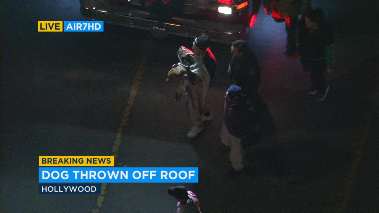 Firefighters rescued a dog that was either thrown or fell at least two stories from a roof in Hollywood.