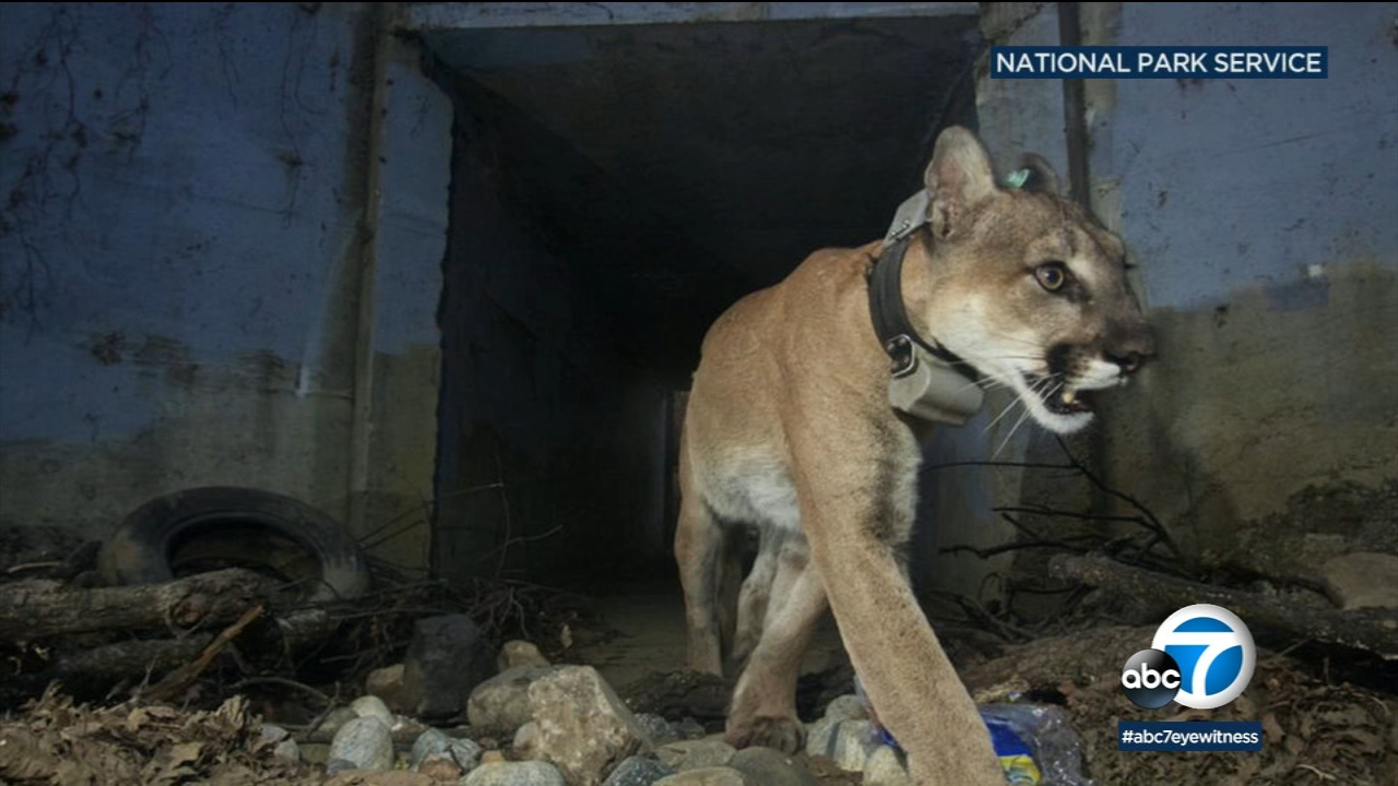 Mountain lion P-64 is pictured in a photo provided by the National Park Service.