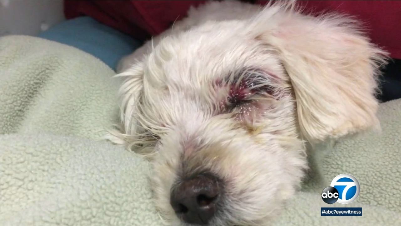 Chloe, a severely abused dog, rests as she tries to recover from abuse she suffered before she was left in a dumpster to die.