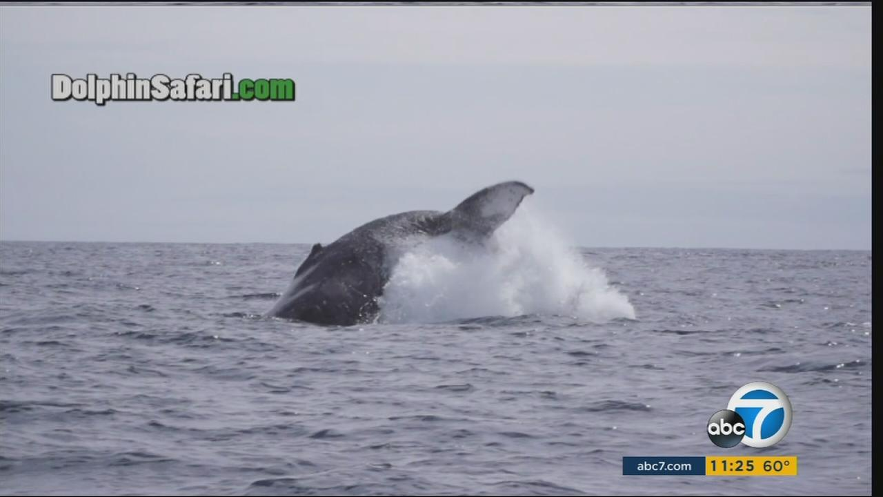 Dramatic video captured by Capt. Daves Dolphin and Whale Safari shows a humpback whale freeing itself from fishing gear just off Dana Point on Friday, March 4, 2016.