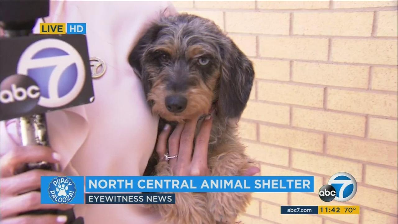 Puppy Palooza Adoption Event For National Puppy Day Abc7 Com