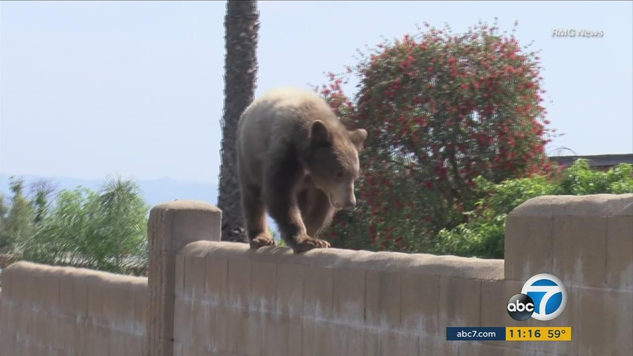 A bear cub is spotted roaming a Duarte neighborhood on Sunday, April 24, 2016.