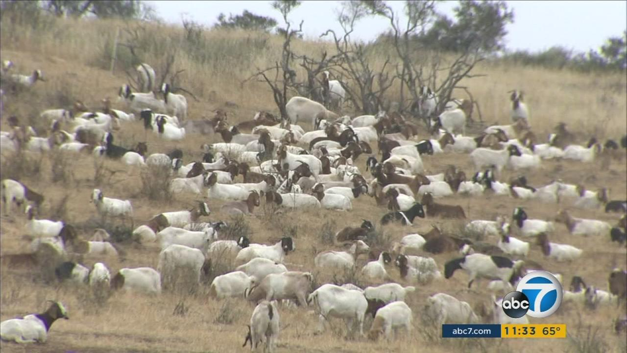 Goats chowing down on dry brush in the Simi Valley hills near the Ronald Reagan Presidential Library are shown on Wednesday, May 11, 2016.