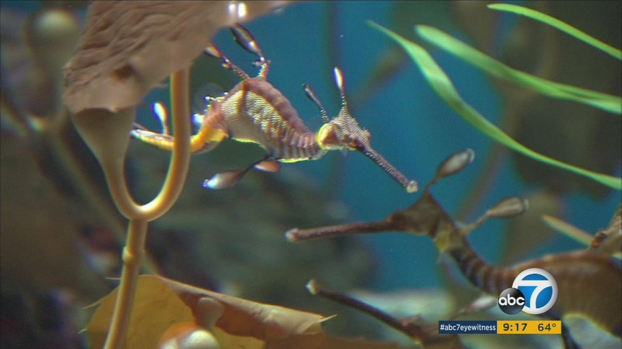 A sea dragon is shown in its habitat at the Aquarium of the Pacific.