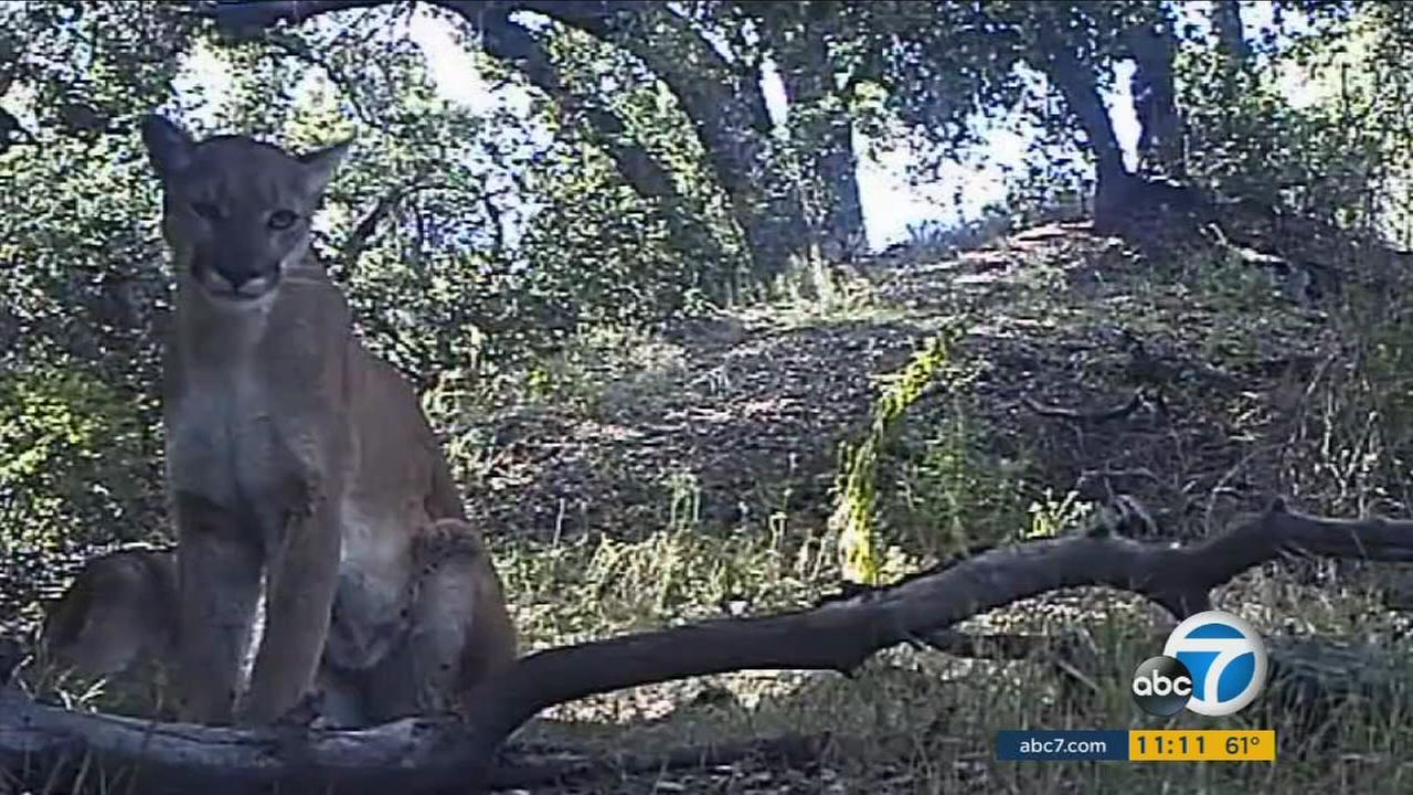 A mom mountain lion is captured on video with her cubs in the Angeles National Forest.