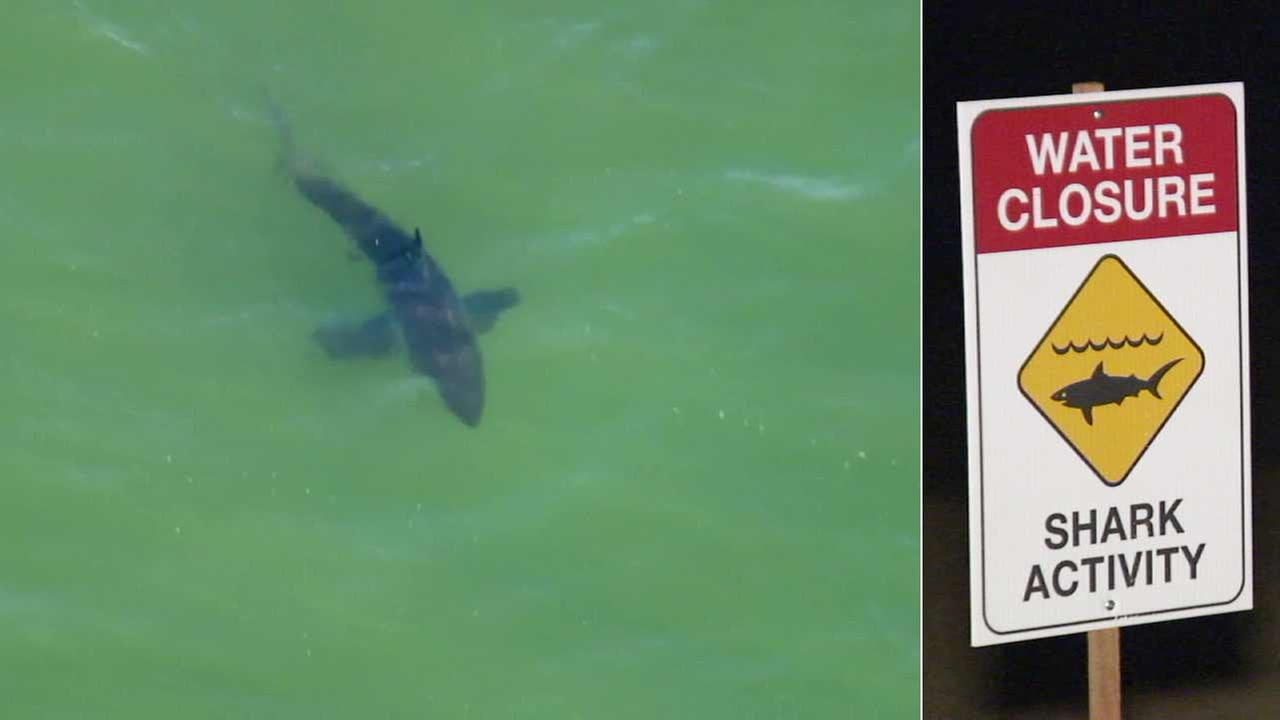 AIR7 HD spotted this shark swimming off the coast in Huntington Beach on Monday, June 6, 2016.