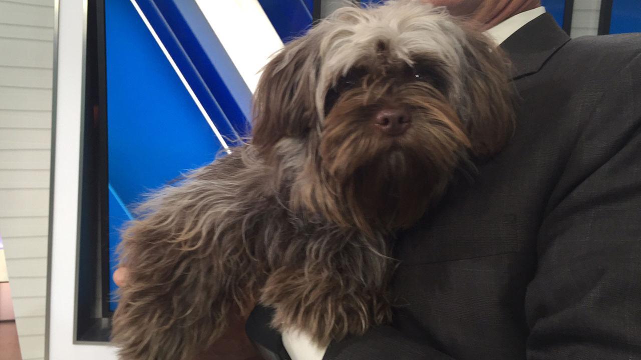 Pet Of The Week Terrier Shih Tzu Mix Named Missy Abc7com