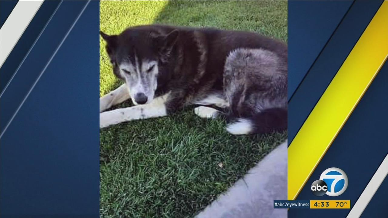 Deputies shot and killed an 11-year-old husky mix named Buddy while responding to a domestic disturbance call in Hesperia. They later learned they went to the wrong home.