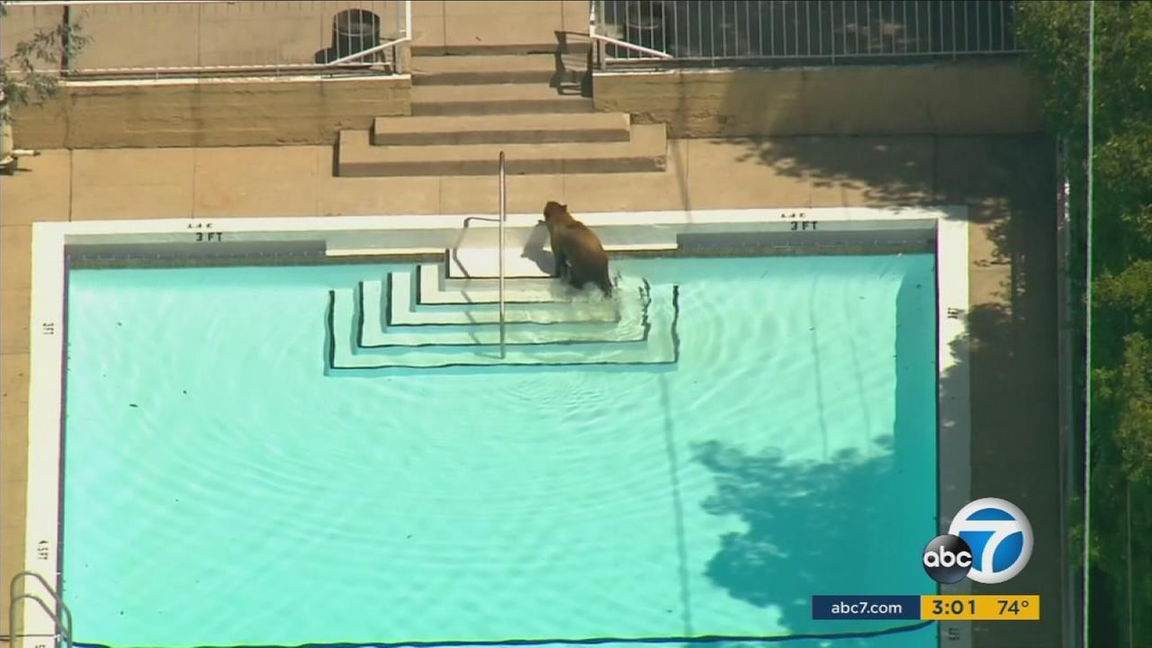 Fish and Wildlife officials responded to a La Canada Flintridge neighborhood after a bear was seen roaming around the area on Wednesday, June 8, 2016.