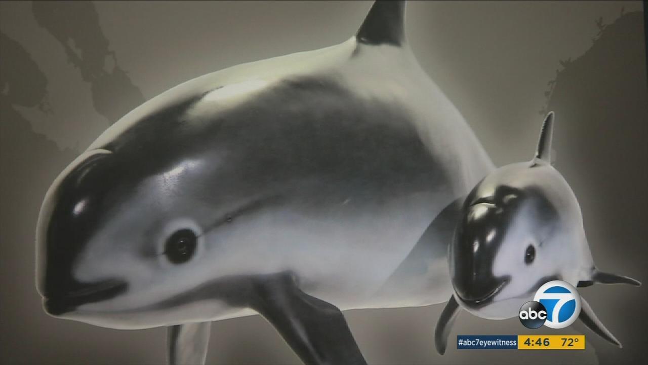 The Aquarium of the Pacific aims to spread awareness to prevent possible extinction of vaquita porpoises
