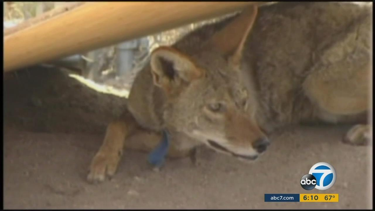 Spiking coyote population in Torrance has residents concerned