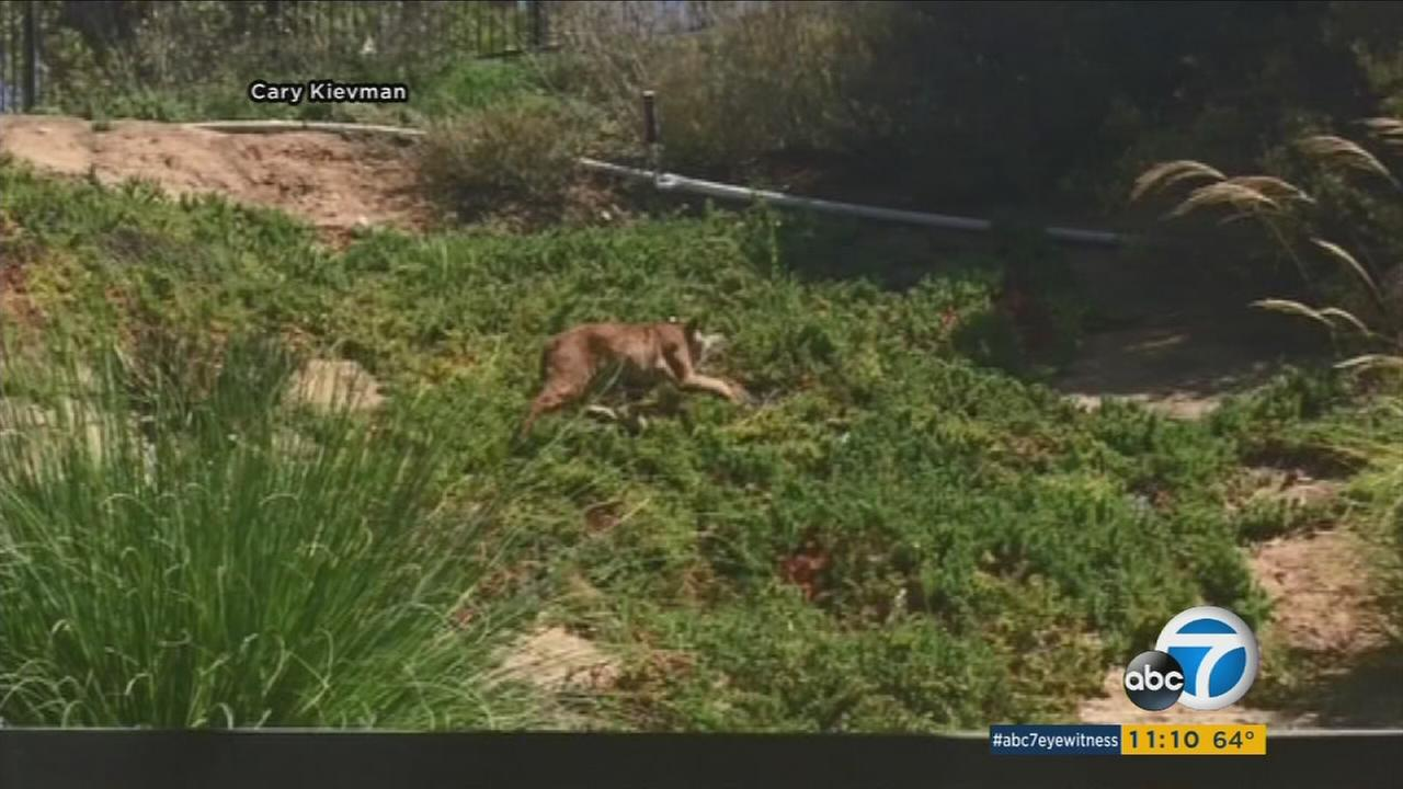 A Moorpark family woke up on Wednesday morning to bobcats roaming around in their backyard.