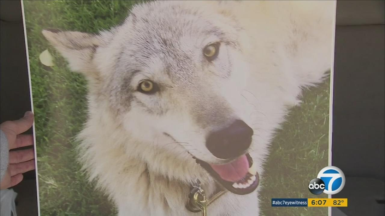 A Huntington Beach couple is worried their pet shepherd mix could have some wolf DNA and be subject to an euthanasia order.