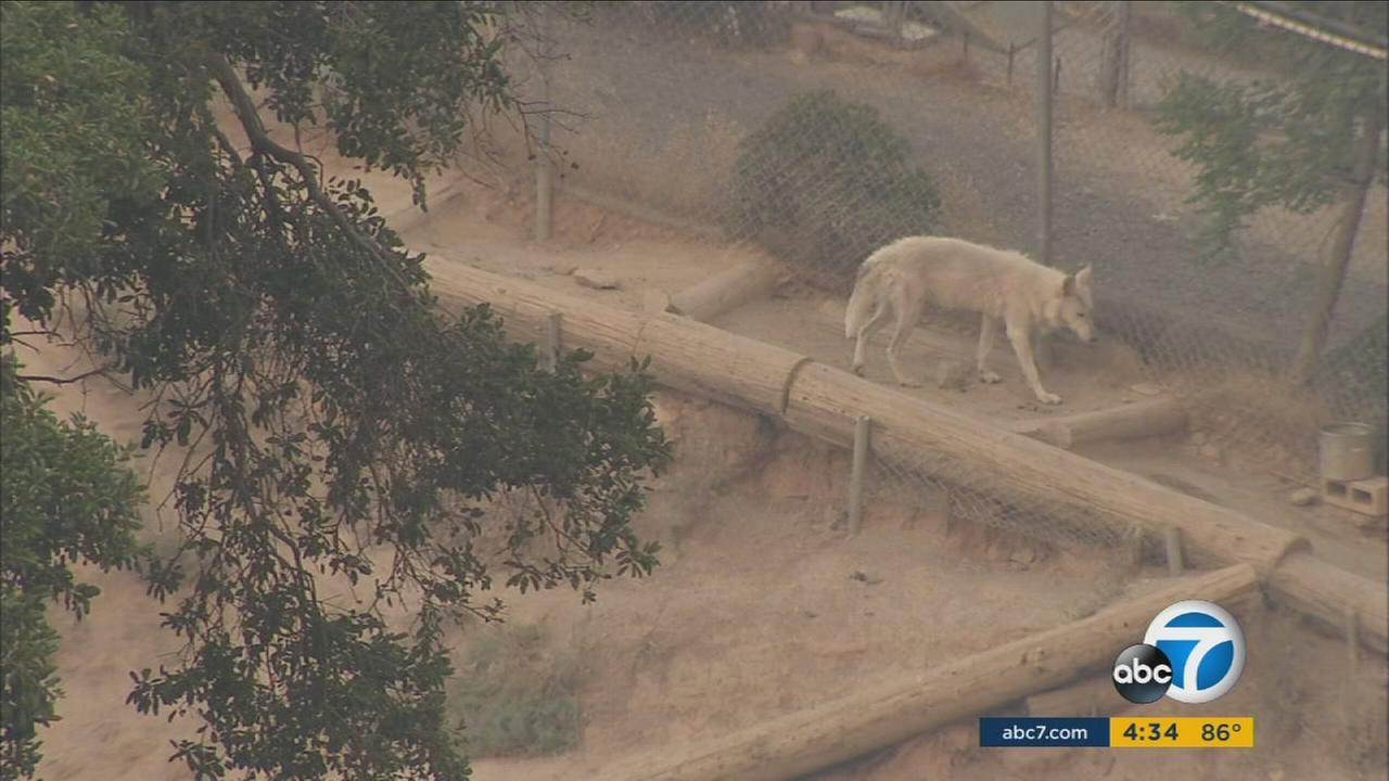 Neighbors helped the Wildlife Waystation load exotic animals, including tigers, chimpanzees and bears into trailers and away from the path of the raging Sand Fire.