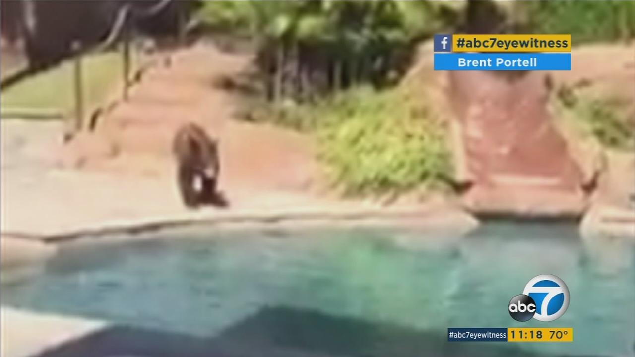 A bear dips its paws into a pool in a Yucaipa backyard.