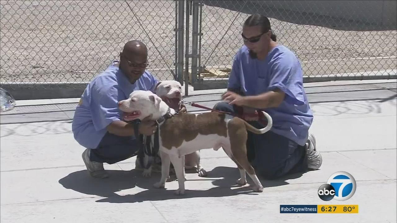 The California State Prison in Lancaster took in 50 animals that were evacuated from The Deaf Dog Rescue of America in Acton after their community was threatened by the Sand Fire.