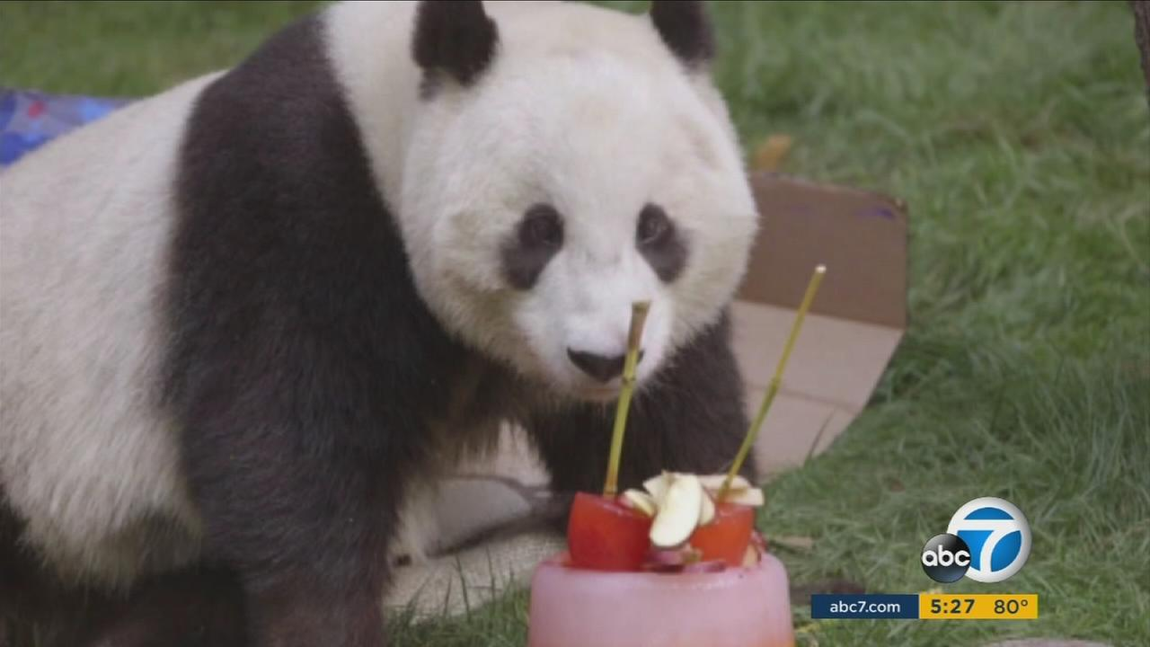 Xiao Liwu, a giant panda known as Mr. Wu, ate some cake for his 4th birthday at the San Diego Zoo.