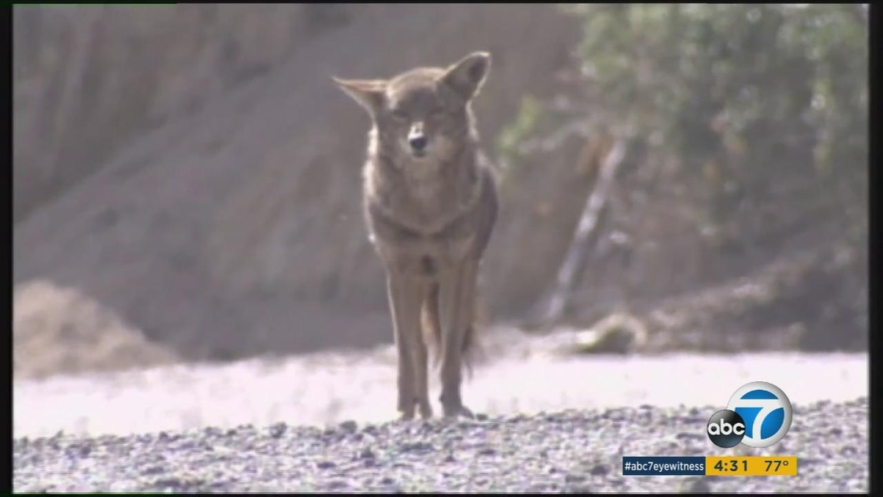 A coyote is seen in an undated file photo.
