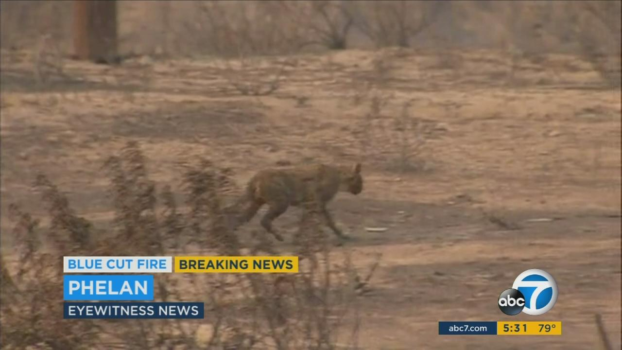 A cat was found roaming the charred Phelan area after escaping the flames from the Blue Cut fire.