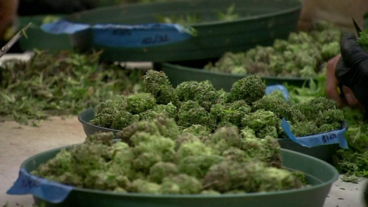 Legalized medicinal marijuana is shown in file footage.