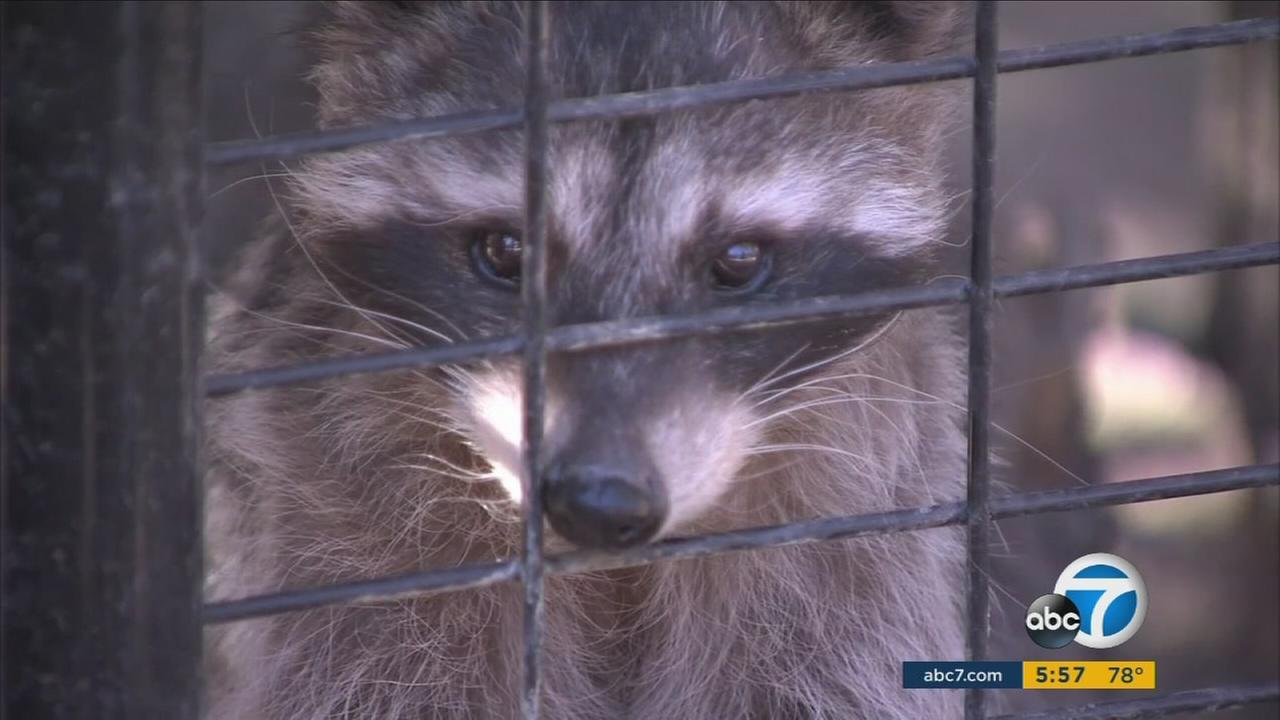 A raccoon is seen at the Big Bear Alpine Zoo in Big Bear Lake.
