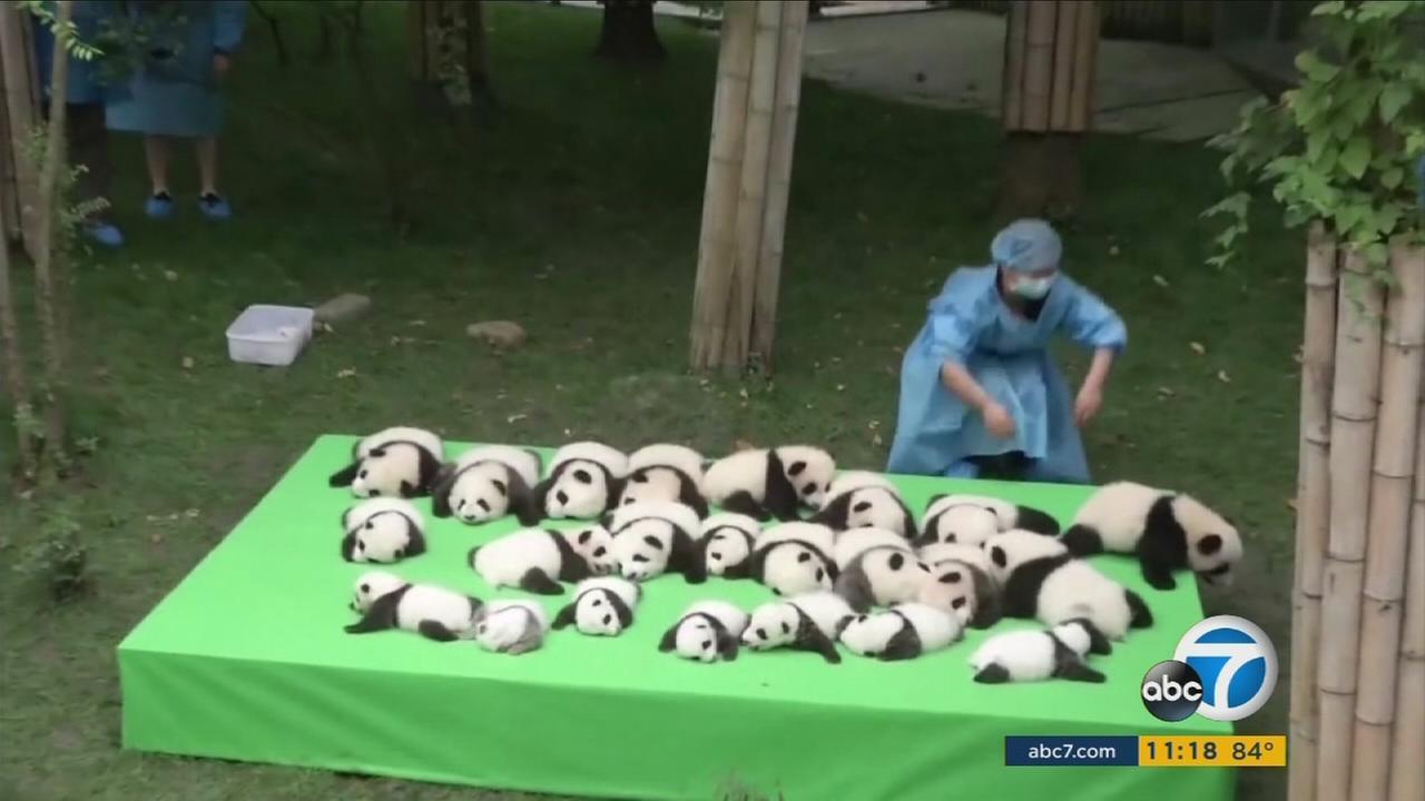 23 adorable baby pandas make public debut in China