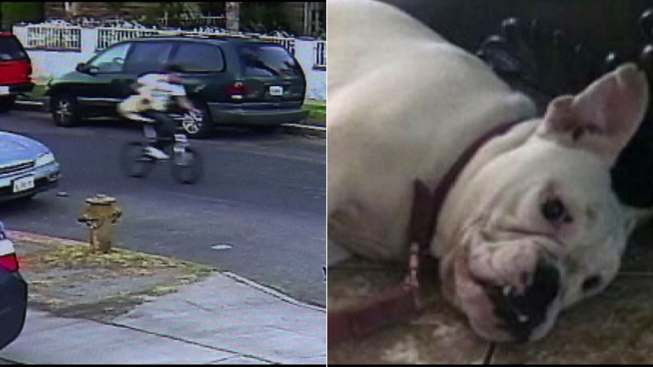A surveillance image shows a thief riding off on a bicycle, carrying a deaf bulldog belonging to an Arleta woman.