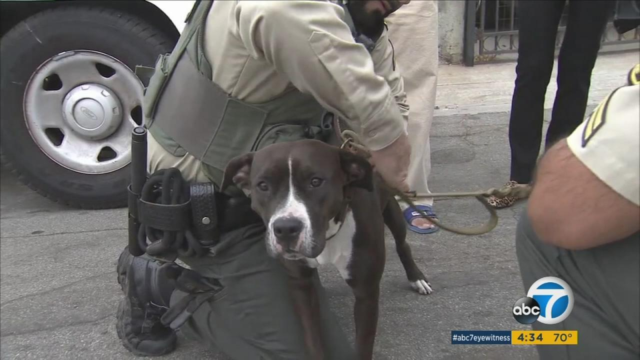 A pit bull mix named Girl is shown being taken in by Los Angeles animal control officers on Wednesday, Oct. 12, 2016.
