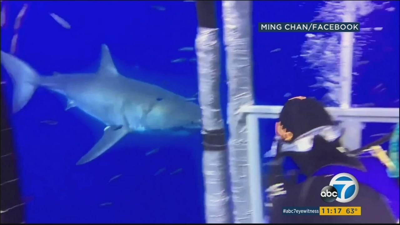 Video taken underwater offers a closer look at the giant shark that thrashed its way inside a shark cage off the coast of Baja California last week.