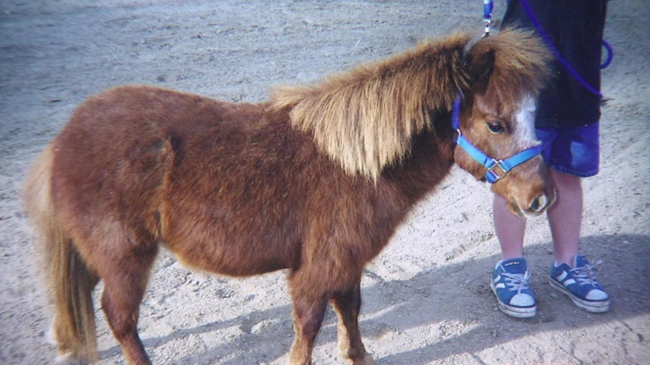 Marco Polo, an 18-year-old miniature horse is shown in an undated photo.