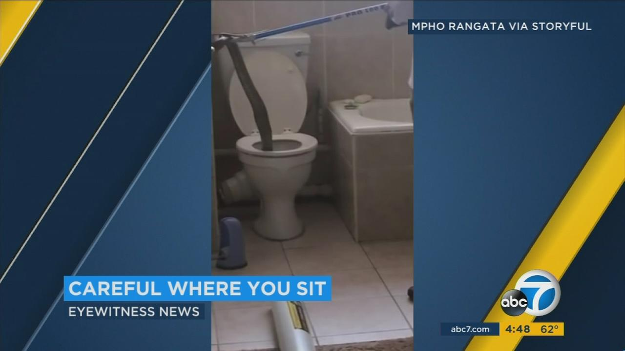 A snake wrangler was sent to catch an eight-foot cobra who appeared inside of an apartment toilet.