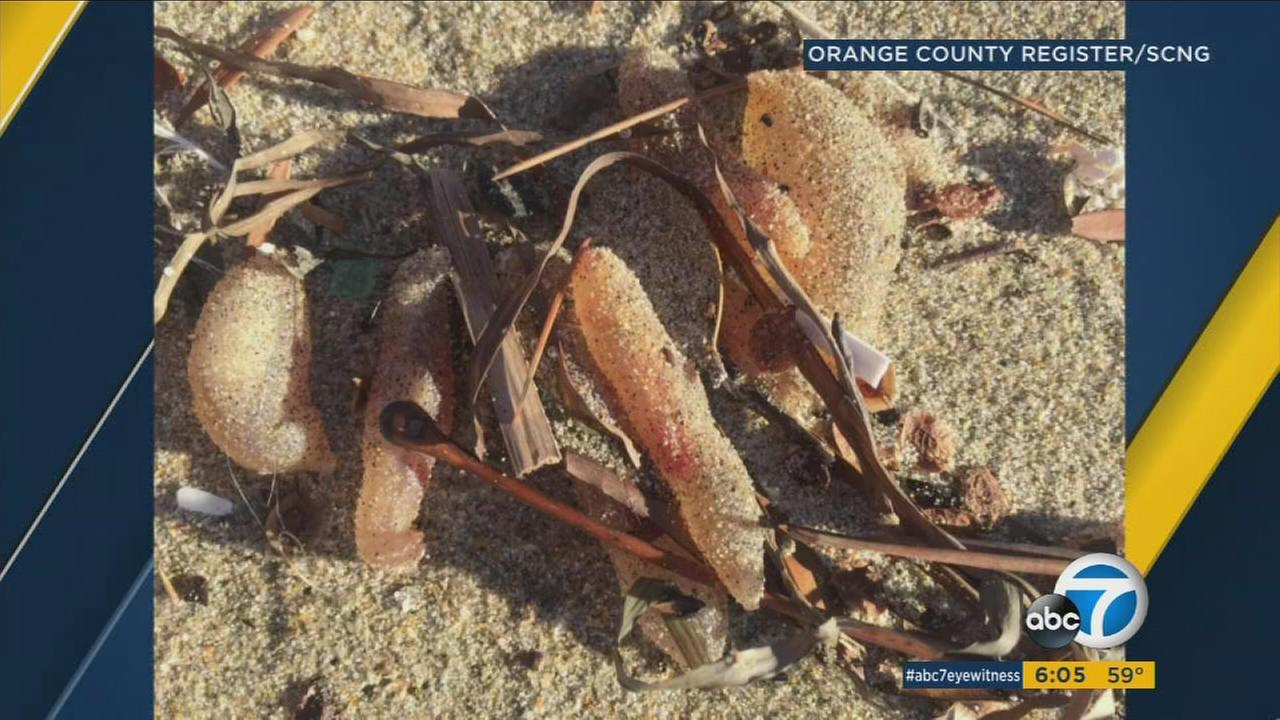 Multiple jelly-like, flesh-colored creatures were discovered washed ashore in Huntington Beach.
