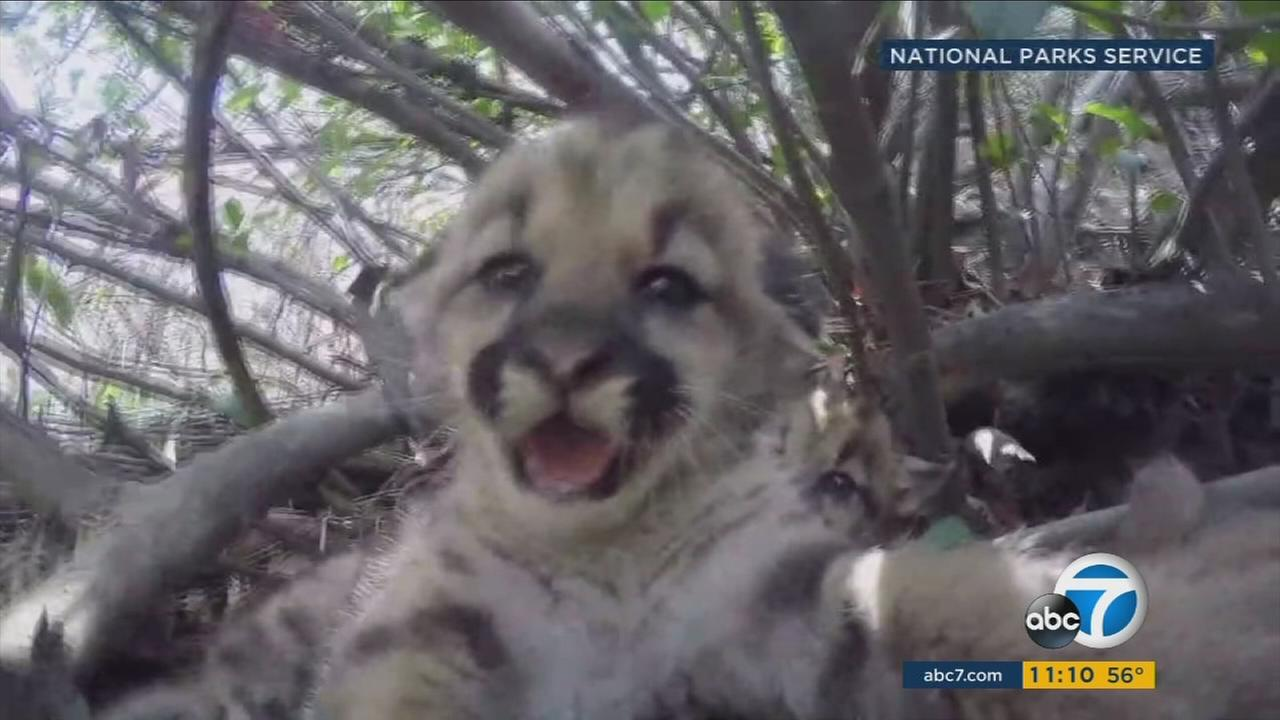 A 7-month-old mountain lion kitten, known as P-52, was killed after being hit by a car on the 118 Freeway - the same freeway where his mother died weeks earlier.