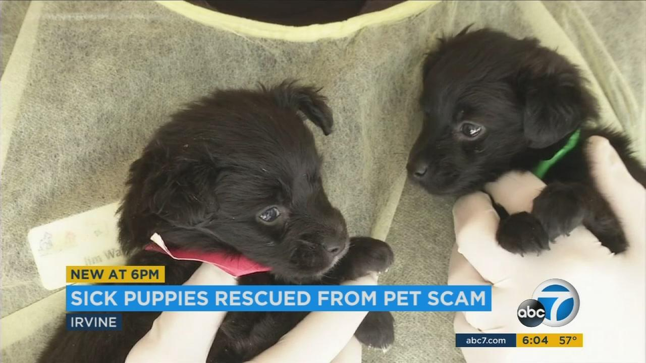 Two sick puppies are shown in the care of veterinarians after they and 17 others were found in the possession of a woman suspected of animal cruelty.
