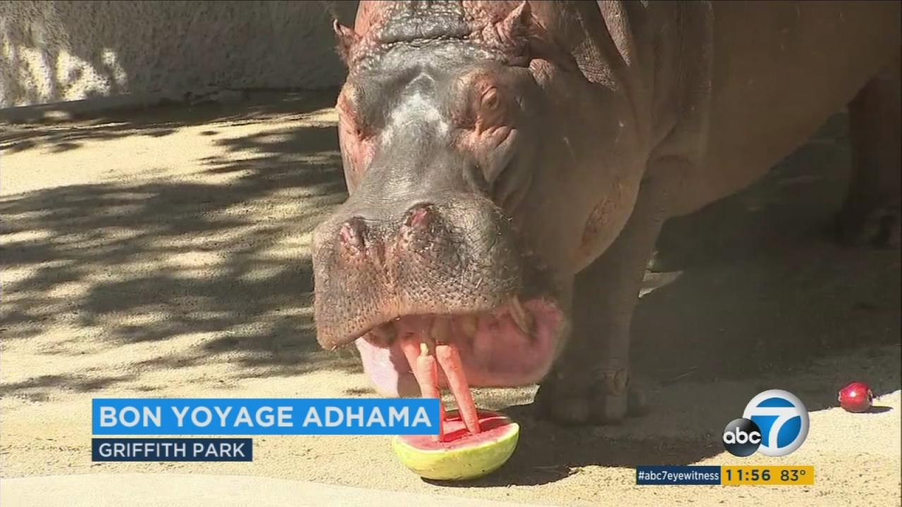 A photo of Adhama the hippopotamus at the Los Angeles Zoo.