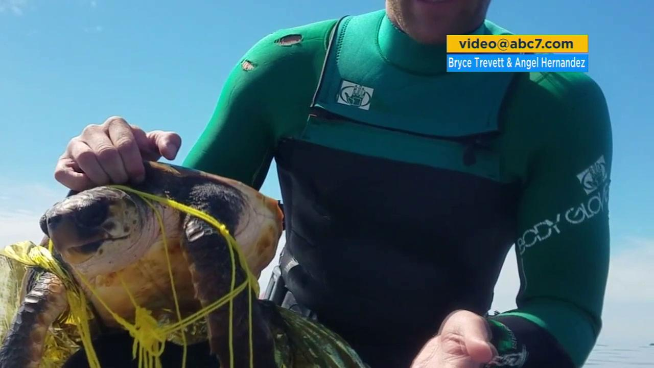 One of the jet skiers shows how he untangles the Loggerhead turtle from a balloon in the ocean in Palos Verdes.